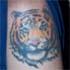 Dave - Tiger